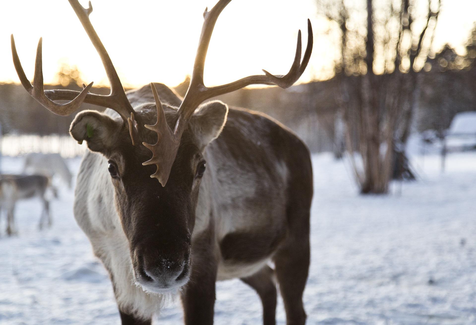 Le renne est l'animal d'honneur de la Laponie