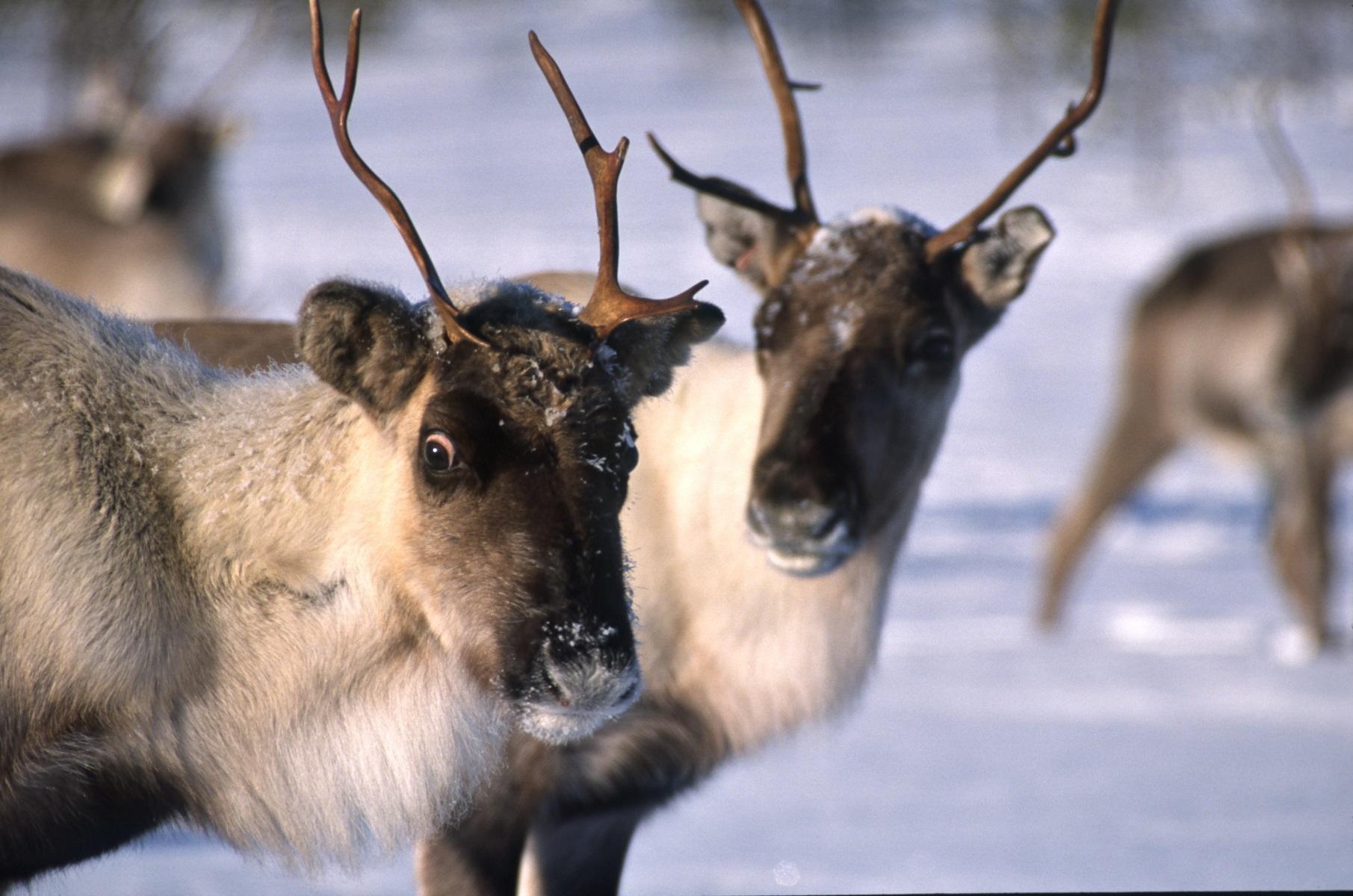 Les rennes, paisibles ainmaux
