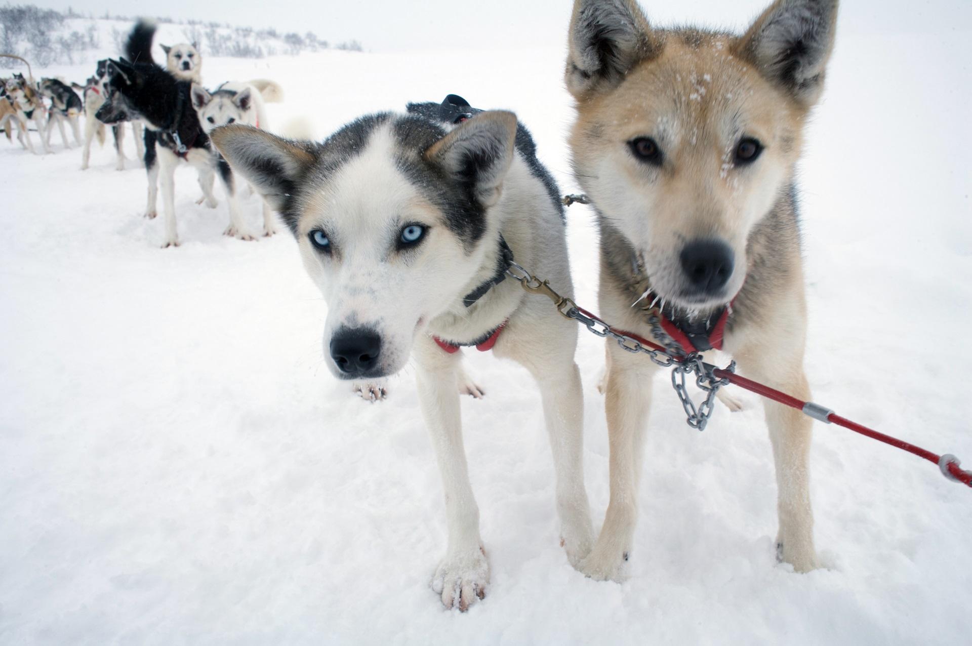 Traîneau à chiens à Inari