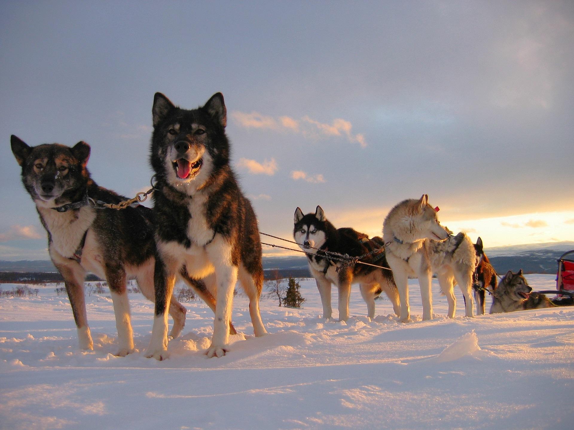 Huskyteam in der Abendsonne Schwedens